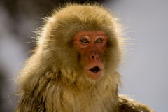 Portrait of a snow monkey Royalty Free Stock Images
