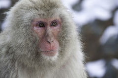 Portrait Snow monkey. Thought of capturing a portrait click for a background shot Royalty Free Stock Photos