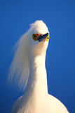 Portrait of Snowy egret Royalty Free Stock Image