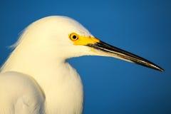 Portrait of Snowy egret Stock Images