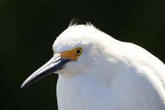 Portrait of Snowy egret stock image