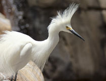 A Portrait of a Snowy Egret, Egretta thula Royalty Free Stock Photography