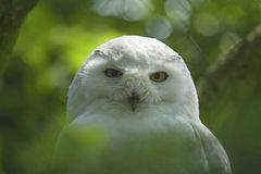 Portrait of a snowy owl Royalty Free Stock Photography