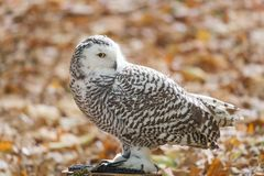 The snowy owl, Bubo scandiacus. Portrait of The snowy owl, Bubo scandiacus stock image