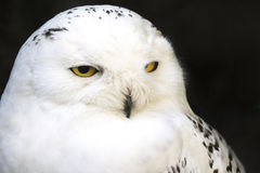 Portrait of a snowy owl Royalty Free Stock Image