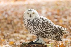 The snowy owl, Bubo scandiacus. Portrait of The snowy owl, Bubo scandiacus stock photos