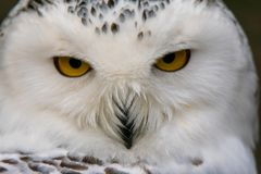 Portrait of a snowy owl. Closeup portrait of a snowy owl. Bubo scandiacus Royalty Free Stock Image