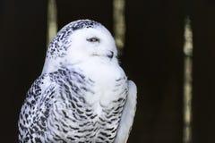 Portrait of snowy owl on dark blurred background. Portrait  of snowy owl  perched on branch, looking in camera, on dark blurred background.Large and beautiful royalty free stock photos