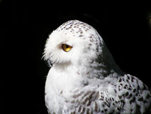 Portrait of snowy owl isolated on black. Portrait of wise snowy owl with yellow eyes isolated on black Stock Images
