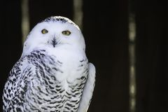 Portrait of snowy owl looking in camera on dark blurred background. Portrait  of snowy owl  perched on branch, looking in camera, on dark blurred background stock images
