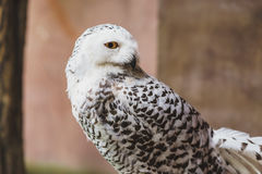 Portrait Snowy owl stand facing side, eye looking at camera Stock Images