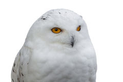 Portrait of a Snowy Owl Royalty Free Stock Photos