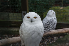 Portrait of a Snowy Owl Stock Images