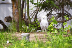 Portrait of a snowy owl. Royalty Free Stock Images