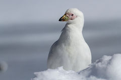 Portrait of a Snowy Sheathbill standing in snow winter Stock Photography
