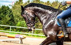 Portrait of a soared black Mare during training on the background of colorful jumping obstacles, yellow sand and green forest. royalty free stock photos