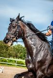 Portrait of a soared black Mare during training on the background of colorful jumping obstacles, yellow sand and green forest. royalty free stock images