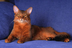 Portrait of somali cat lookin at camera. Portrait of young somali male cat lying on sofa and looking at camera. He is royal and beautiful Royalty Free Stock Photo