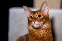 Portrait of a Somali cat. Sorrel color Stock Photography