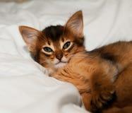 Portrait of somali kitten. Closeup portrait of somali kitten waking up in bed stock photo