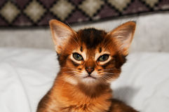 Portrait of somali kitten. Portrait of purebred somali kitten sitting on bed and looking at camera Royalty Free Stock Photography