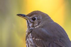 Portrait of Song thrush. (Turdus philomelos) on vivid colored background royalty free stock photos