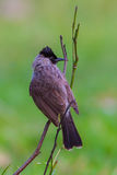 Portrait of Sooty-headed bulbul Royalty Free Stock Photos