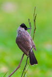 Portrait of Sooty-headed bulbul(Pycnonotus aurigaster). In nature at Khao Yai National Park,Thailand Royalty Free Stock Photo