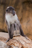 Portrait of sooty mangabey. Photo taken in the zoo stock photography