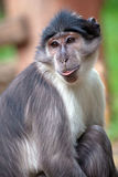 Portrait of a sooty mangabey. Monkey (Cercocebus atys lunulatus royalty free stock photography
