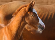 Portrait of sorrel foal. Sorrel foal near to sorrel mare stock image