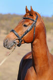 A portrait of  sorrel horse. Portrait of beautiful sorrel sportive horse Stock Image