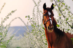 Portrait of sorrel horse in blossoming spring garden. On sunrise stock image