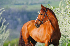 Portrait of sorrel horse in blossoming spring garden. On sunrise royalty free stock photography