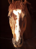 Portrait of sorrel horse in dark. Outdoor sunny Stock Photos