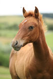 Portrait of sorrel solid paint horse foal. In summer Stock Photos