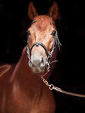 Portrait of sorrel Trakehner stallion on black background Stock Photo