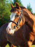 Portrait of sorrel welsh pony Royalty Free Stock Images
