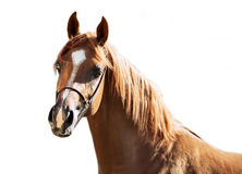 Portrait of  sorrel young arabian colt at white background Stock Photos