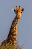 Portrait of a South African giraffe Stock Image