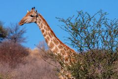 Portrait of South African Giraffe Giraffa camelopardalis Giraffe. Gemsbook National Park, South Africa stock images