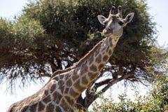 Portrait South African giraffe group, Giraffa giraffa giraffa, Chobe National Park, Botswana. The Portrait South African giraffe group, Giraffa giraffa giraffa Royalty Free Stock Photo
