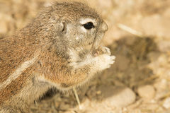 Portrait of South African ground squirrel, Xerus inauris Royalty Free Stock Images