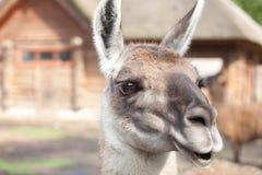 Lama glama closeup. Portrait of a South American home brown Lama glama closeup Royalty Free Stock Image