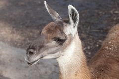 Lama glama closeup. Portrait of a South American home brown Lama glama closeup Stock Photography