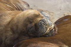 Portrait South American sea lion which put his head on a nearby Stock Images