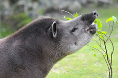 Portrait of south American tapir Stock Photo