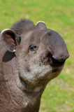 Portrait of south American tapir Stock Photography