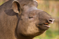 Portrait of south American tapir Royalty Free Stock Photos