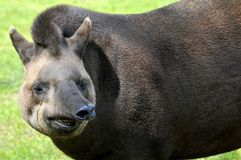 Portrait of south American tapir Royalty Free Stock Images